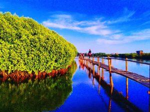 hutan mangrove pantai congot, hutan mangrove kulon progo