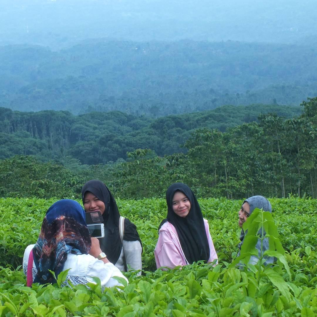 kebun teh gucialit