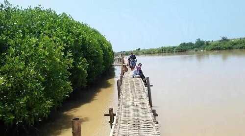 hutan mangrove pantai baros