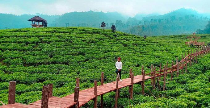 kebun teh gunung gambir jember